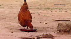 Chicken Eating in Africa. - stock footage