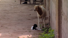Animals outside of African school. Arkistovideo