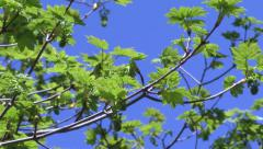 Green maple tree  with blu sky Stock Footage