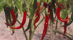 Royalty Free Stock Footage of Chili pepper plant ready to harvest in Africa. - stock footage