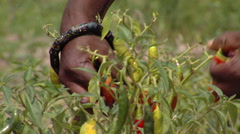 Chili peppers being harvested in Africa. - stock footage