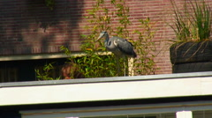 Great Blue Heron in a city. Stock Footage