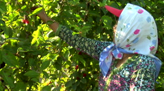 Woman picking berries in China. Stock Footage