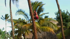 Hawaiian man climbing a palm tree quickly. Stock Footage