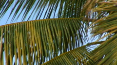 Close-up of green and yellow palm fronds in the wind in Hawaii. Stock Footage