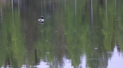 Loon at a rainy lake Arkistovideo