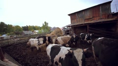 Cows and pigs graze on a farm Stock Footage