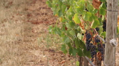 Pan of a Tuscan vineyard in Italy. Stock Footage
