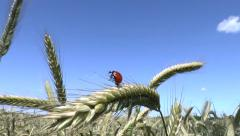 Ladybird taking off a wheat ear Stock Footage