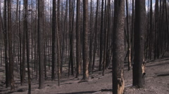 Burned tree trunks in a Yellowstone forest. Stock Footage