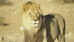 4K+ R3D - Lion - large black-maned male licks lips and looks around. Africa cat Stock Footage