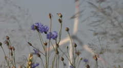 Cornflowers with a wind turbine in the background Stock Footage
