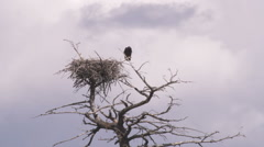 Clip of an eagle and its treetop nest in Yellowstone. Stock Footage