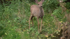 Little deer is frightened and runs off. Stock Footage