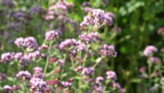 Blur medical and spice herbs wild marjoram oregano. 4K Stock Footage