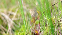 Butterfly stuck on a carnivorous sundew Stock Footage