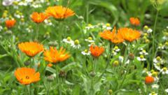 Marigold calendula medical healthy flowers in garden. Blur focus, 4K Stock Footage