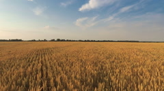 Flying Over Wheat Field Stock Footage