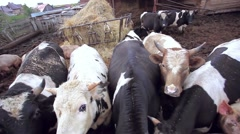 Stock Video Footage of Dairy cows and pigs on pasture on a farm