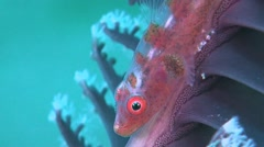 Whip Goby Stock Footage