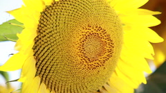 Big Yellow Sunflower Macro Close Up Stock Footage