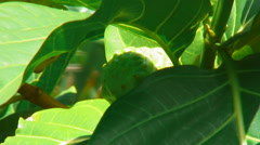 Closeup of Noni fruit behind leaves. Stock Footage