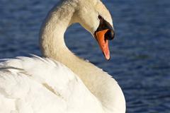 Noble swan - stock photo