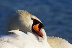 Very beautiful close-up of the mute swan Stock Photos
