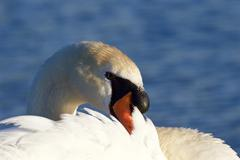 Beautiful close-up of the mute swan on the sunny evening Stock Photos