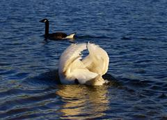 The pursuit of the goose by the angry swan - stock photo