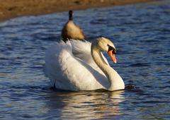 The strong mute swan is swimming - stock photo