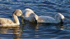 Funny young swans are trying to divide the algae Stock Photos