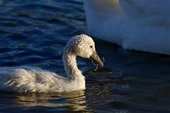The young swan is eating algae Stock Photos