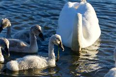 The young swans are eating the algae - stock photo