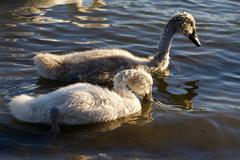 Two young swans are swimming together Stock Photos