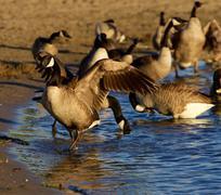 Beautiful Canada geese on the beach - stock photo
