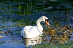 The hard-working mute swan Stock Photos