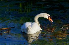 The strong beautiful swan is cleaning the lake Stock Photos