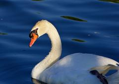Beautiful close-up of the mute swan before the sunset Stock Photos
