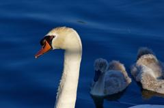 Beautiful background with the father-swan and his children on the sunny eveni - stock photo