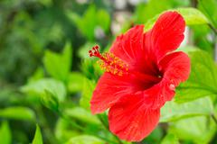 Red hibiscus on blurred background Stock Photos