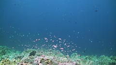 Grey Reef Sharks on the edge of a coral reef - stock footage