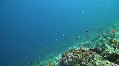 Grey Reef Sharks swimming over a coral reef - stock footage