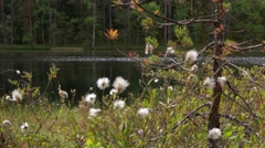 Cottongrass on a boggy shore Stock Footage