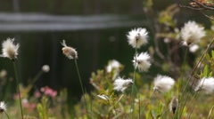 Cottongrass close-up in the wind Stock Footage