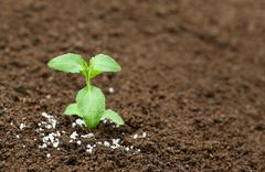 Holy basil plant in fertile soil with chemical fertilizer Stock Photos