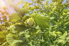 Stock Photo of Green hazelnut on tree