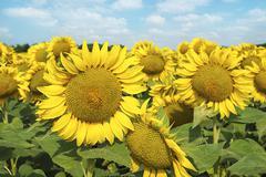 Stock Photo of Sunflower field.