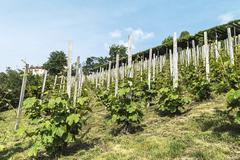 Stock Photo of View of green vineyard.