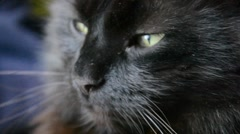 Close up of black Chantilly Tiffany cat head Stock Footage